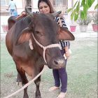 arpit-with-cow
